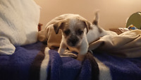 Multi Poo Puppies small breed 4 to 7 pounds max! City of Toronto Toronto (GTA) Preview