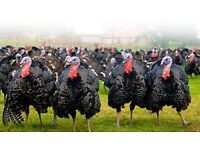 Free range organic turkey Bronze and Black breeds Oven ready for Christmas