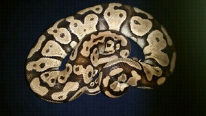 Ball pythons for sale - lots available