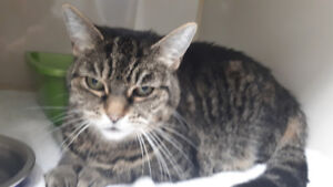 Found brown tabby female cat