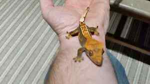 Selling all my Crested Geckos Kitchener / Waterloo Kitchener Area image 10