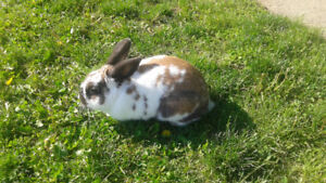 Male rabbit for sale