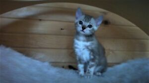 Exquisite Registered Snow Bengal Siblings available