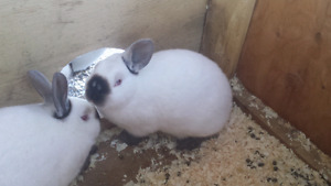 Californian Rabbits 12 weeks old