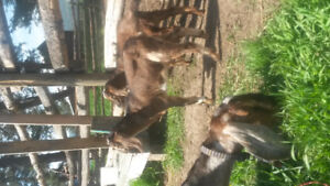 3 month old Nubian wethers