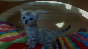 Supreme Registered Snow Bengal Kittens Expected
