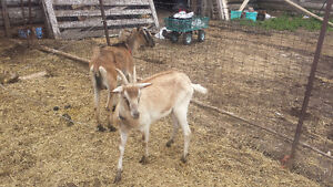 2 female Alpine dairy goats, proven mothers