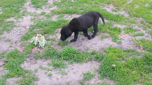 Lab mixed with golden retriever puppies for sale