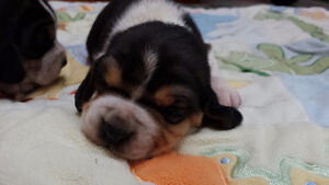 2 Pudgy Purebred REGISTERED Tricolor BEAGLE puppies! Male/Female