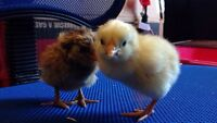 15 Chicks for sale