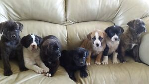 Boston Terrier Cross/Lab Puppies