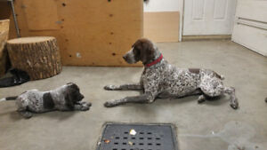 braque allemand german shorthaired pointer