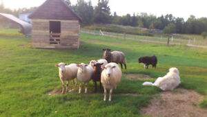 Spring ewe lambs, plus one adult ewe.