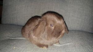 Bébés lapins Bélier Hollandais Nain