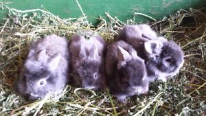 Lionhead baby bunnies for sale
