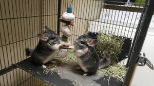 2 male chinchillas with cage and accessories