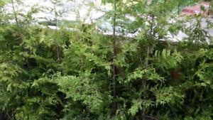 BUSINESS SEEKING CEDAR TREES TO PURCHASE IN BULK