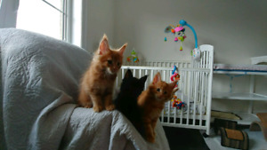 Registered Pure Breed Maine Coon kittens for sale