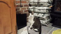 Need to Rehome - Male Grey/White Shorthair Tabby