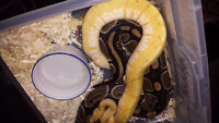 Reptiles for sale or trade
