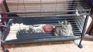 Gray  californian floor rabbit/ with cage