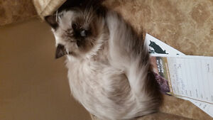 Beautiful Ragdoll - Special situation