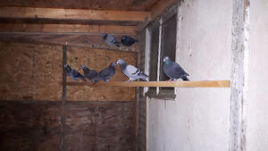 Homing Pigeons for sale or trade