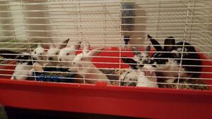 8 week old Mixed Breed bunnies