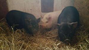 3 Pot Belly Pigs