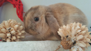 Harlequin holland lop baby girl