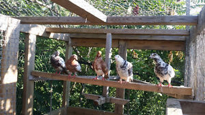 PIGEONS FOR SALE! DIFFERENT BREEDS!!