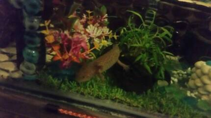 young female axolotl coper speckled with tank if wanted Rostrevor Campbelltown Area Preview
