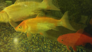 2 healthy koi and 1 gold fish