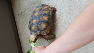 ten years old yellow footed tortoise