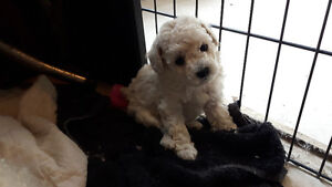 Toy /Miniature POODLE PUPPIES