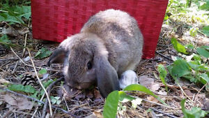 Holland Lop Babies!!