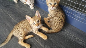 F6 Savannah Kittens Available similar to a bengal :)