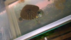 One year old turtle