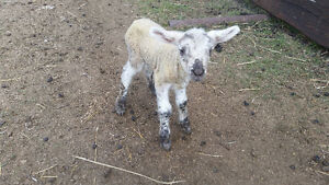 3 Bottle Lambs For Sale