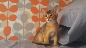 Superbe chaton abyssin lièvre et sorrel (Stérilisation incluse)