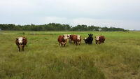 mini Herefords and Dexters
