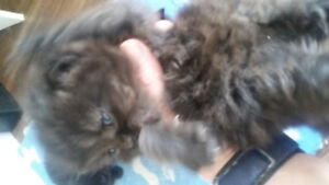 Chocolate Persian with Blue eyes