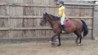 hunter pony for sale
