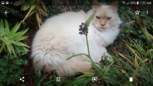 LOST CAT BARRIE