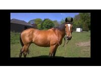 Stunning mare 15.3hh 12 years old. Weatherbys registered