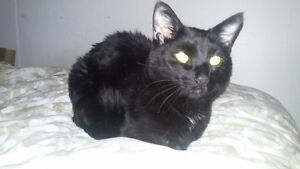 Friendly affectionate black cat needs a home.