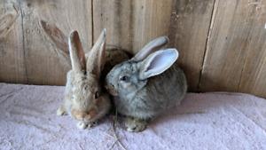 Flemish bunnies