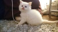 7 week old Pure breed Ragdoll for Sale