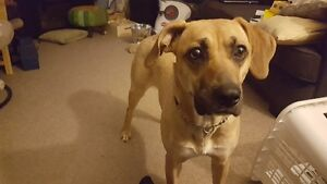 BLACK MOUTH CUR Working Hunting Dog