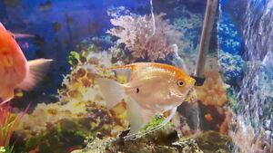 *********pending pick up****healthy angel fish